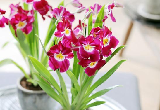 phalaenopsis et autres orchid es rempotage entretien gamm vert. Black Bedroom Furniture Sets. Home Design Ideas