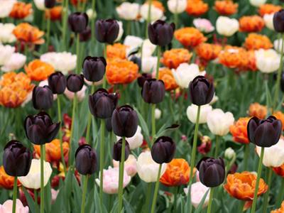 Bulbes de printemps au jardin un trio de tulipes sc nes - Bulbes a planter au printemps ...
