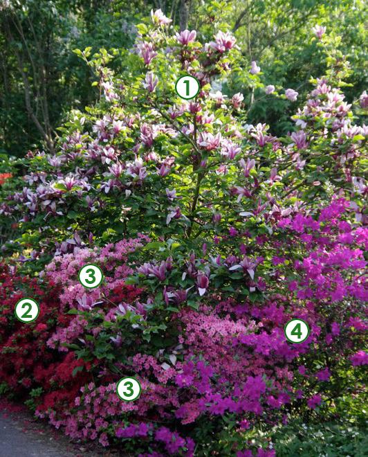 Magnolia et azal es japonaises pour un d but de printemps for Jardin entretien facile