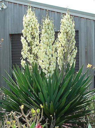 Planter Un Yucca Gamm Vert
